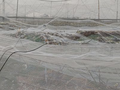 積雪により久喜市の梨に大きな被害 適切な対応を R2年4月1日_d0084783_10021905.jpg