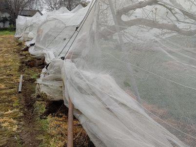 積雪により久喜市の梨に大きな被害 適切な対応を R2年4月1日_d0084783_10023078.jpg