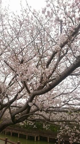 桜咲きました♪_c0202585_09320718.jpg