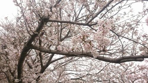 桜咲きました♪_c0202585_09321501.jpg