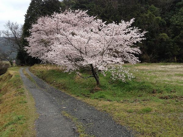 外出自粛と桜満開_e0052385_18182799.jpg