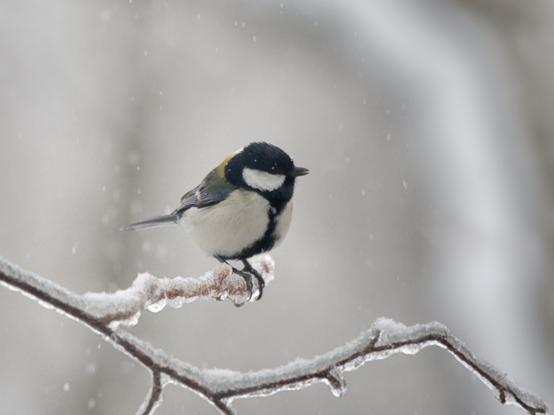 春の雨氷/積雪とカラ類たち_a0204089_20305289.jpg