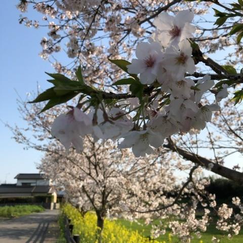 桜咲く_e0245805_20025894.jpeg