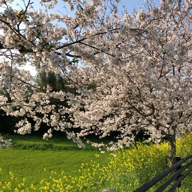 桜咲く_e0245805_20032253.jpeg