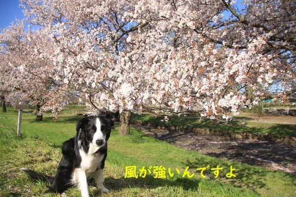 今日もお花見散歩_d0224111_10500590.jpg