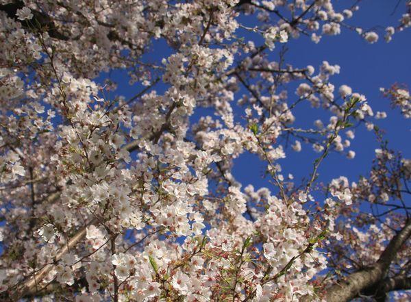 今日もお花見散歩_d0224111_10512021.jpg