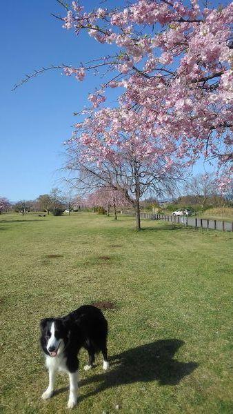 今日もお花見散歩_d0224111_10525241.jpg