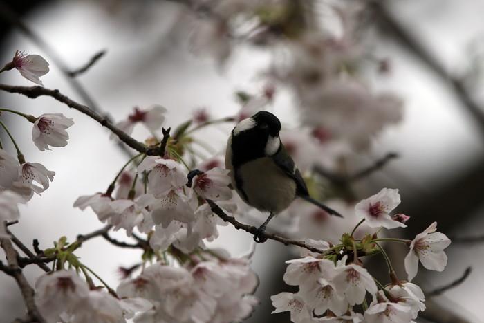 サクラと野鳥(ヤマガラ・シジュウカラ)_f0239515_1610236.jpg