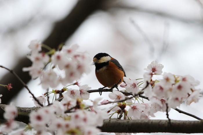 サクラと野鳥(ヤマガラ・シジュウカラ)_f0239515_1661251.jpg