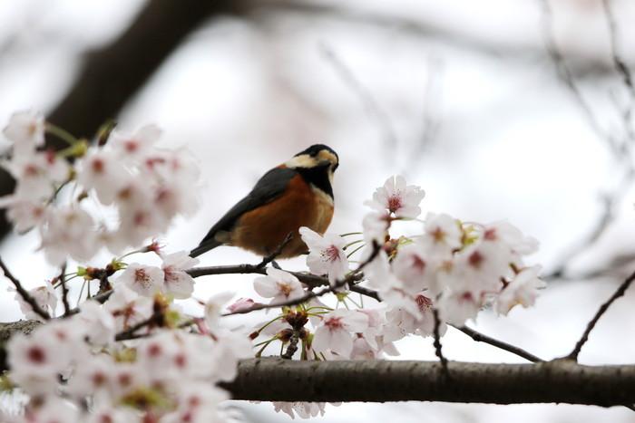 サクラと野鳥(ヤマガラ・シジュウカラ)_f0239515_1664098.jpg