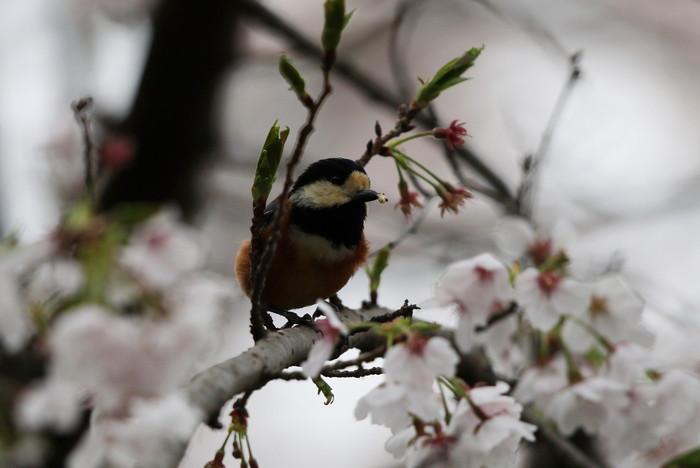 サクラと野鳥(ヤマガラ・シジュウカラ)_f0239515_1671742.jpg