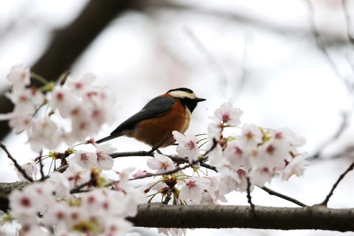 サクラと野鳥(ヤマガラ・シジュウカラ)_f0239515_167356.jpg