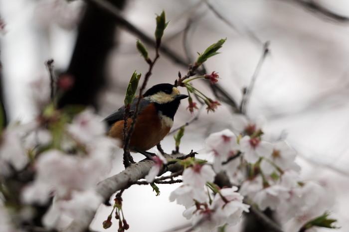 サクラと野鳥(ヤマガラ・シジュウカラ)_f0239515_1675339.jpg