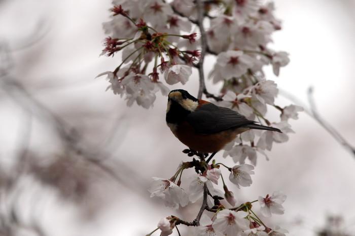 サクラと野鳥(ヤマガラ・シジュウカラ)_f0239515_16811100.jpg