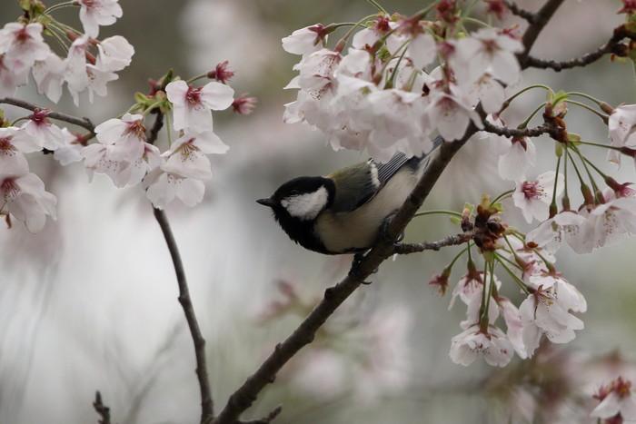 サクラと野鳥(ヤマガラ・シジュウカラ)_f0239515_169324.jpg
