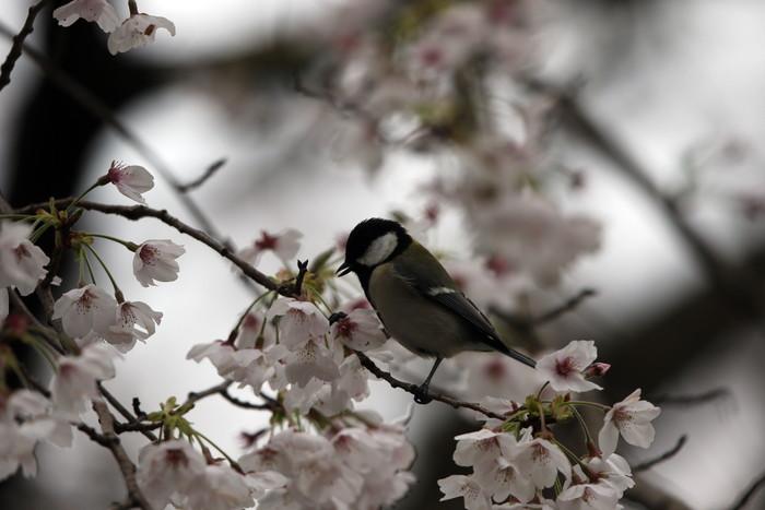 サクラと野鳥(ヤマガラ・シジュウカラ)_f0239515_1695668.jpg