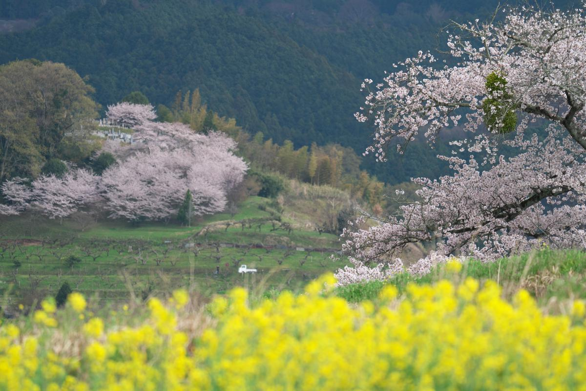 岡寺の春_b0408917_17380201.jpg