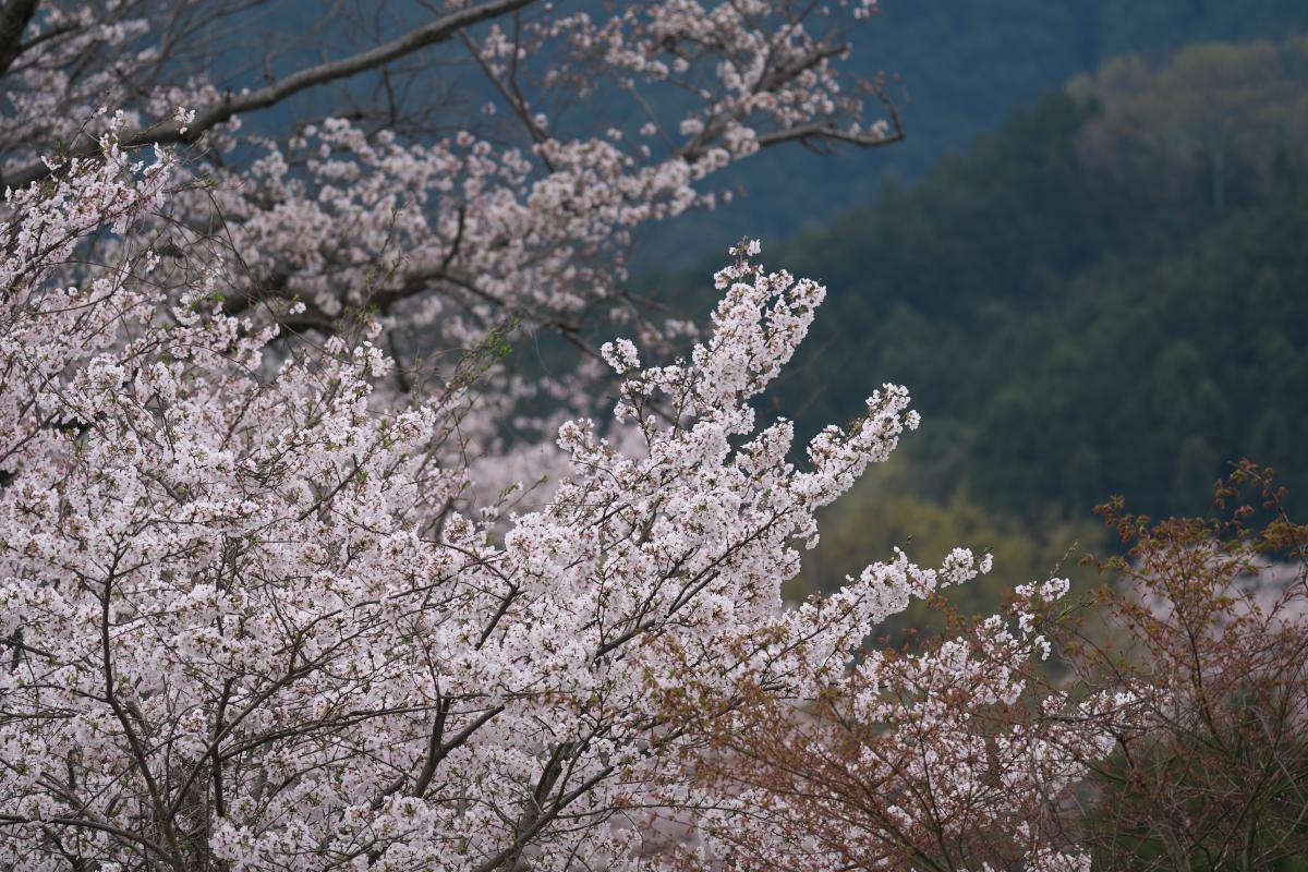 岡寺の春_b0408917_17381701.jpg