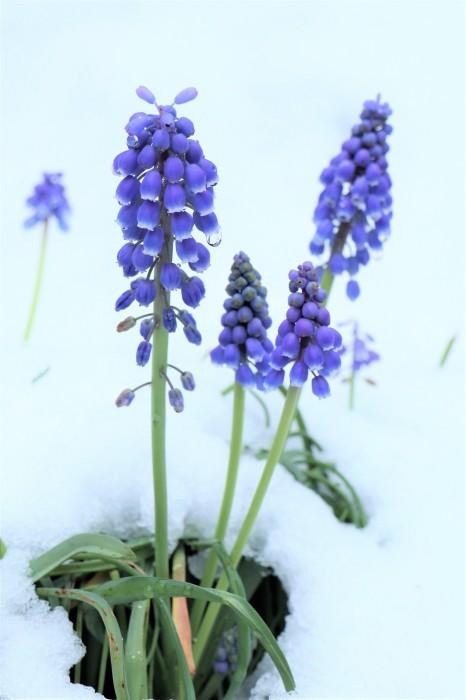 春の雪が。。。_d0150720_11172641.jpg