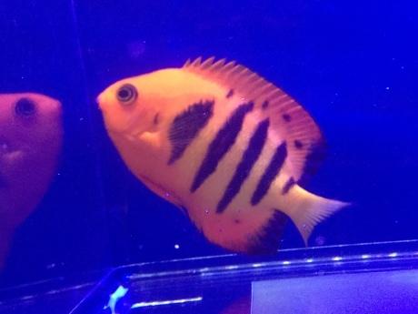 200402 海水魚 熱帯魚 金魚 水草_f0189122_12321637.jpeg
