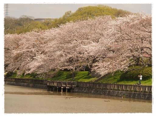 酒津の桜_c0026824_16343876.jpg