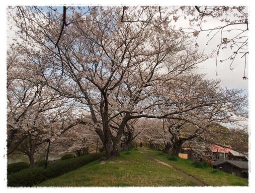 酒津の桜_c0026824_16350964.jpg