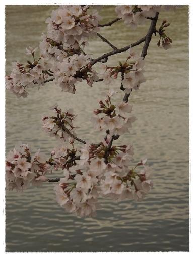 酒津の桜_c0026824_16352197.jpg