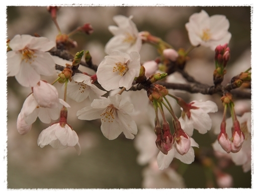 酒津の桜_c0026824_16354143.jpg