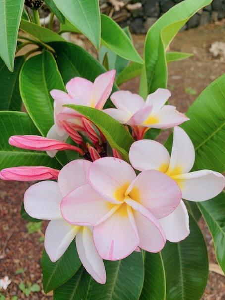 ハワイ島の自宅で・・・_c0187025_10452555.jpg