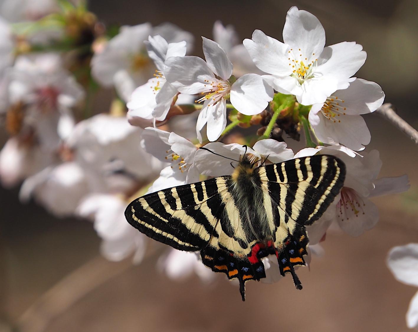 春の女神ギフチョウ、卵も撮れた午前の部(2020年3月31日)_d0303129_02584525.jpg