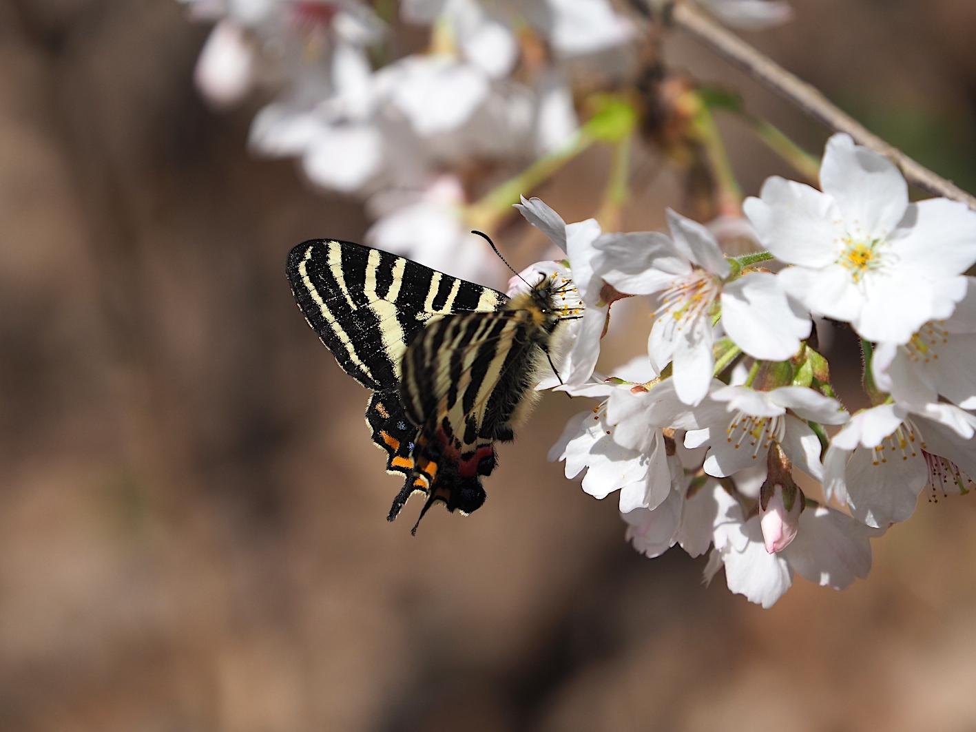 春の女神ギフチョウ、卵も撮れた午前の部(2020年3月31日)_d0303129_02585426.jpg