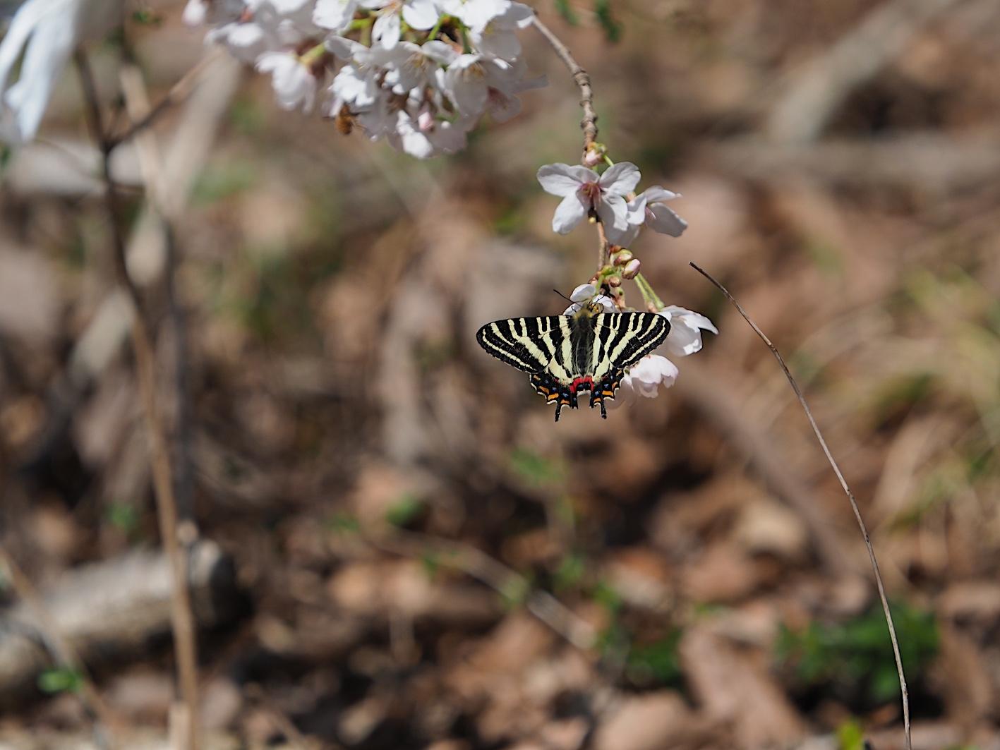 春の女神ギフチョウ、卵も撮れた午前の部(2020年3月31日)_d0303129_02590115.jpg