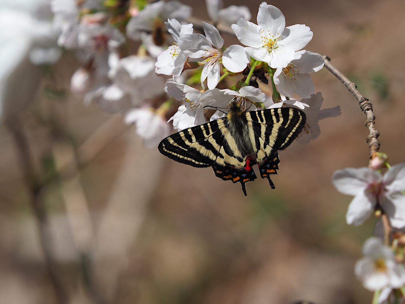 春の女神ギフチョウ、卵も撮れた午前の部(2020年3月31日)_d0303129_03180371.jpg