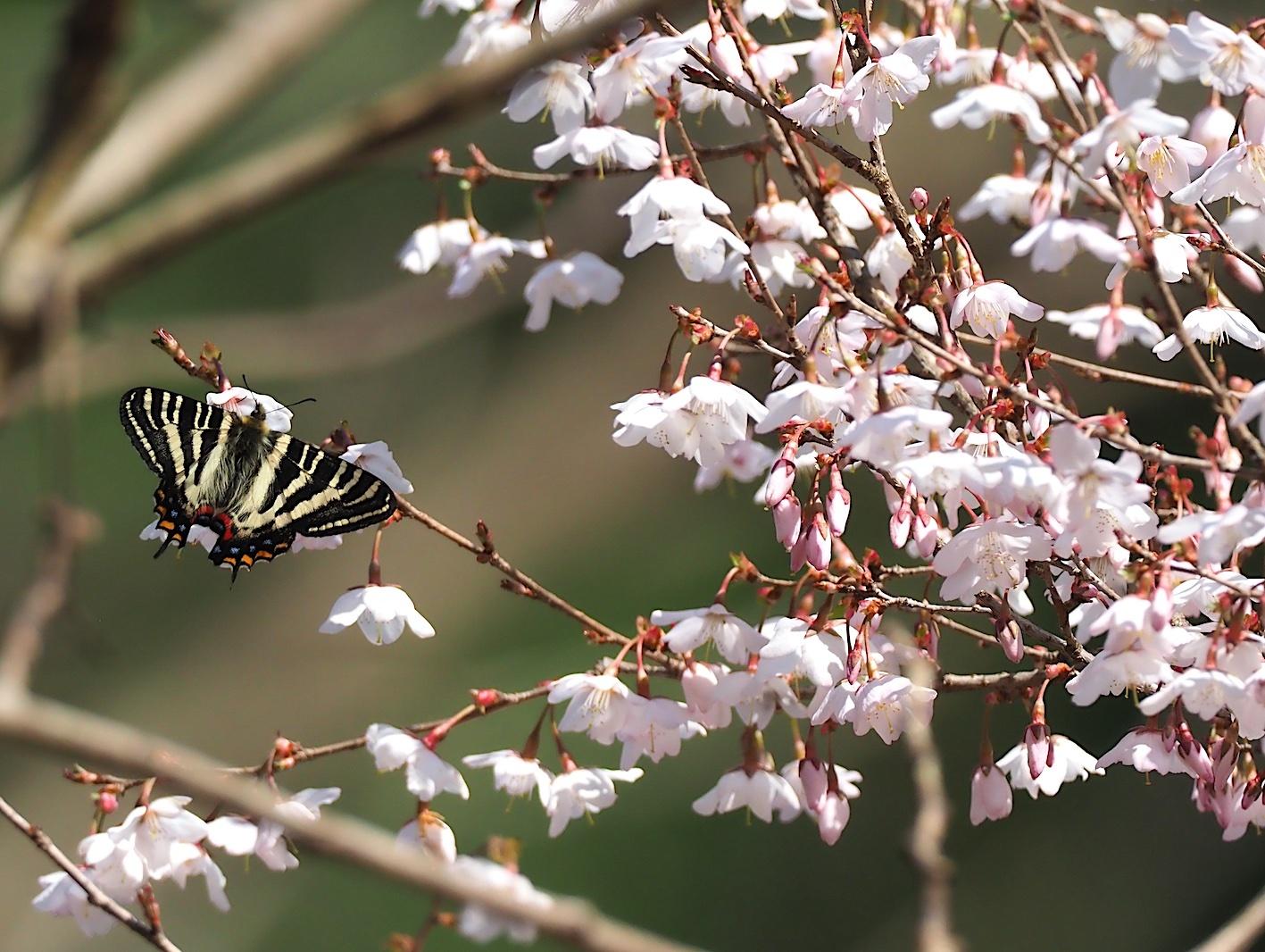 春の女神ギフチョウ、午後の部・マメザクラ&チョウジザクラ(2020年4月1日)_d0303129_20521516.jpg