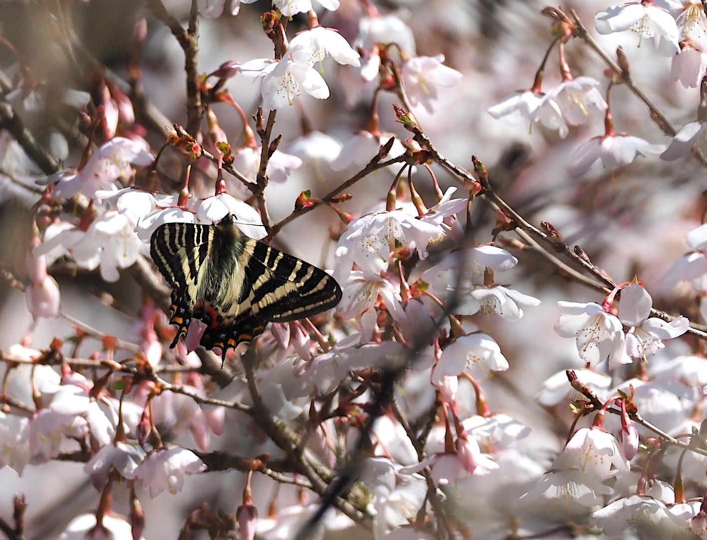 春の女神ギフチョウ、午後の部・マメザクラ&チョウジザクラ(2020年4月1日)_d0303129_20521908.jpg