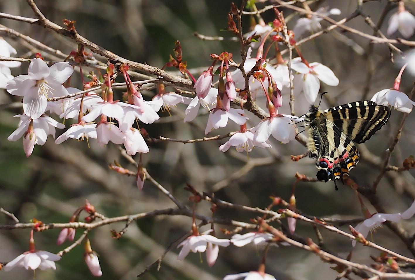 春の女神ギフチョウ、午後の部・マメザクラ&チョウジザクラ(2020年4月1日)_d0303129_20522269.jpg