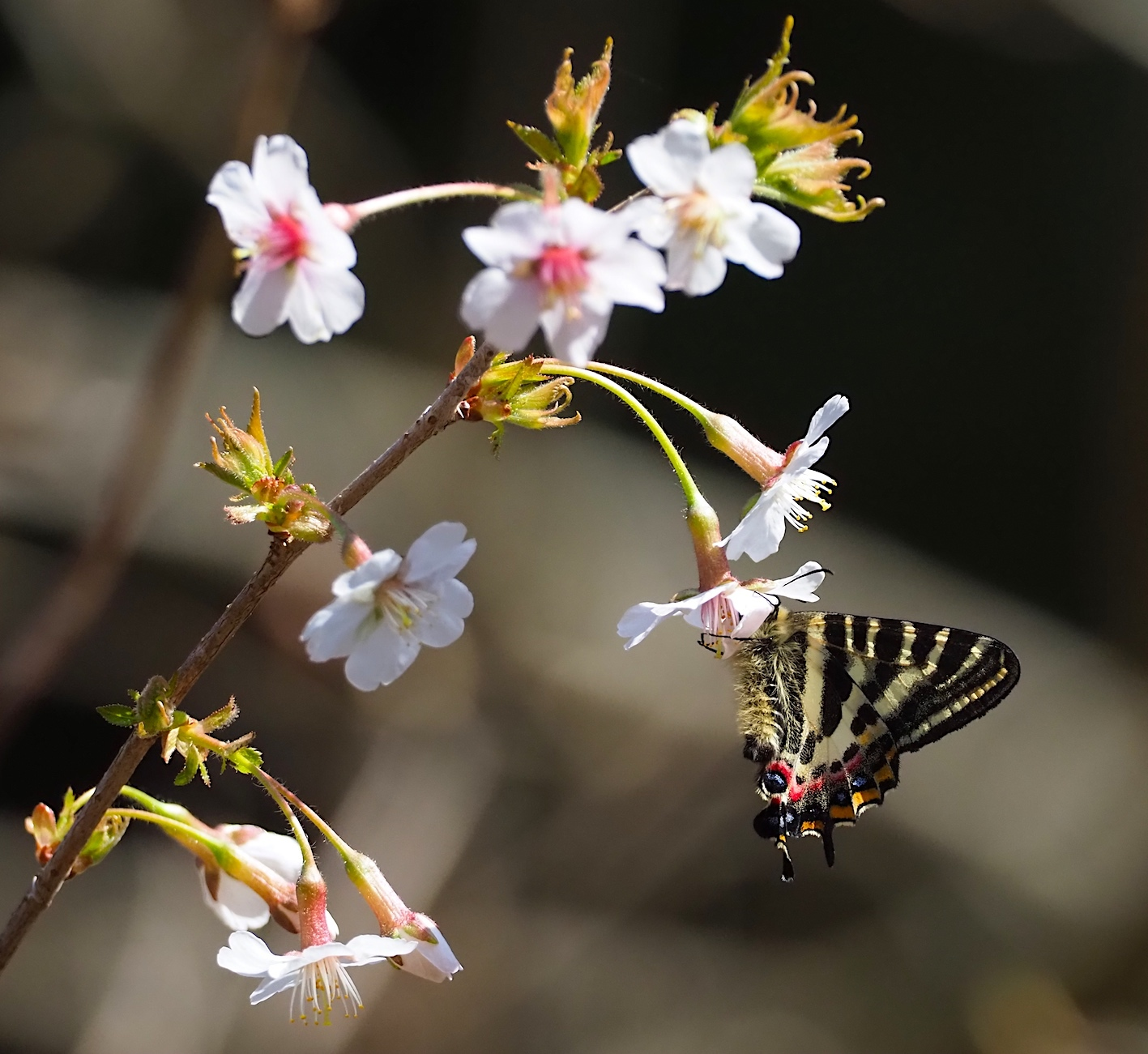 春の女神ギフチョウ、午後の部・マメザクラ&チョウジザクラ(2020年4月1日)_d0303129_20522457.jpg