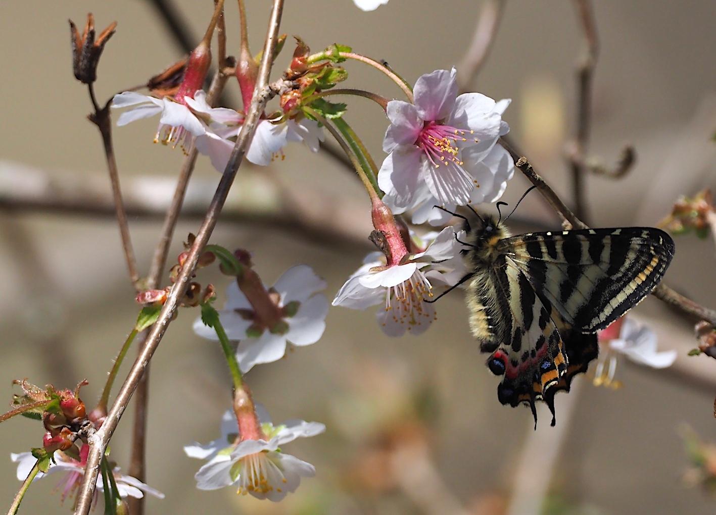 春の女神ギフチョウ、午後の部・マメザクラ&チョウジザクラ(2020年4月1日)_d0303129_20522962.jpg