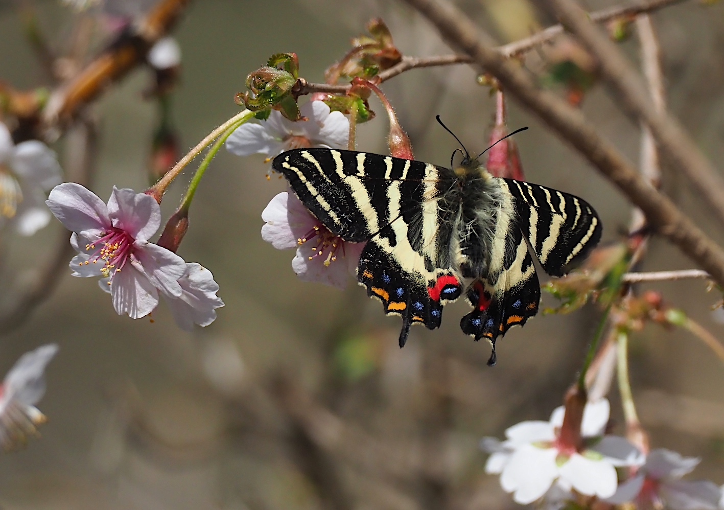 春の女神ギフチョウ、午後の部・マメザクラ&チョウジザクラ(2020年4月1日)_d0303129_20523777.jpg