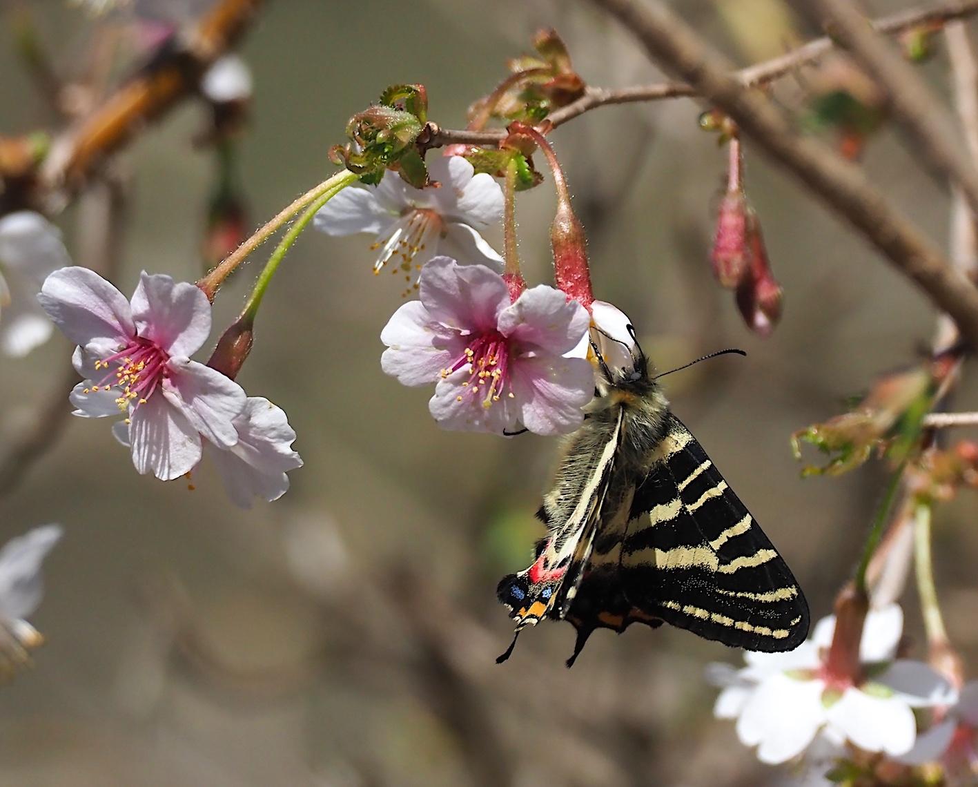 春の女神ギフチョウ、午後の部・マメザクラ&チョウジザクラ(2020年4月1日)_d0303129_20523962.jpg