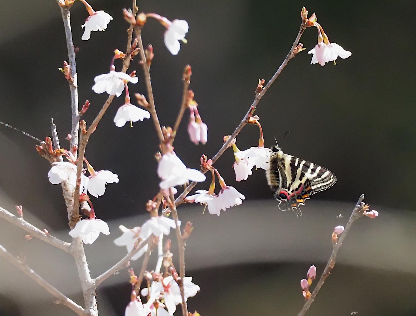 春の女神ギフチョウ、午後の部・マメザクラ&チョウジザクラ(2020年4月1日)_d0303129_20524432.jpg