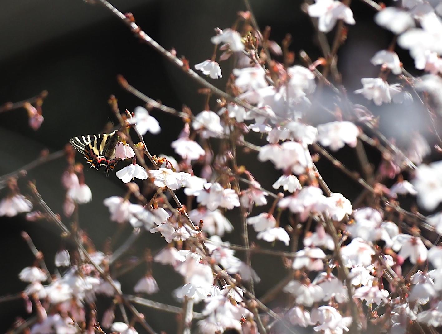 春の女神ギフチョウ、午後の部・マメザクラ&チョウジザクラ(2020年4月1日)_d0303129_20524614.jpg