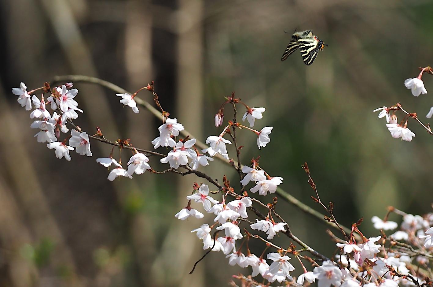 春の女神ギフチョウ、飛翔シーンの部(2020年4月2日)_d0303129_21360946.jpg