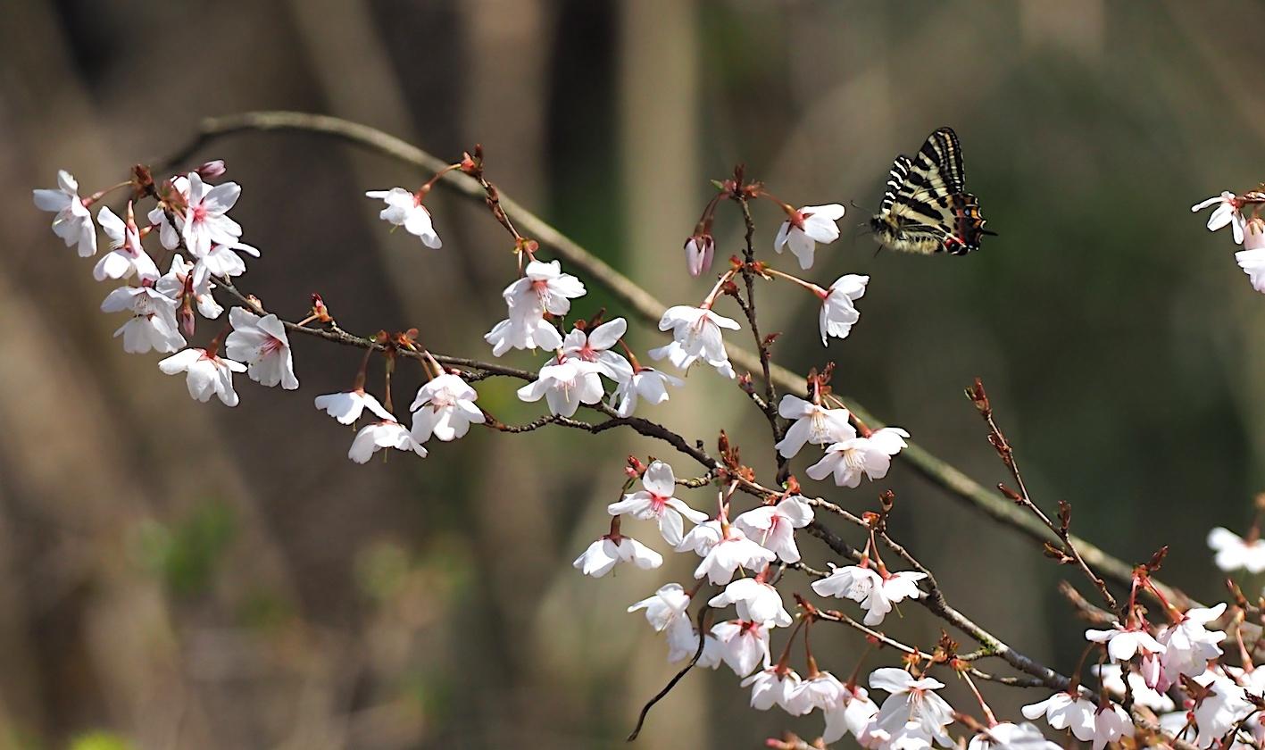 春の女神ギフチョウ、飛翔シーンの部(2020年4月2日)_d0303129_21362352.jpg