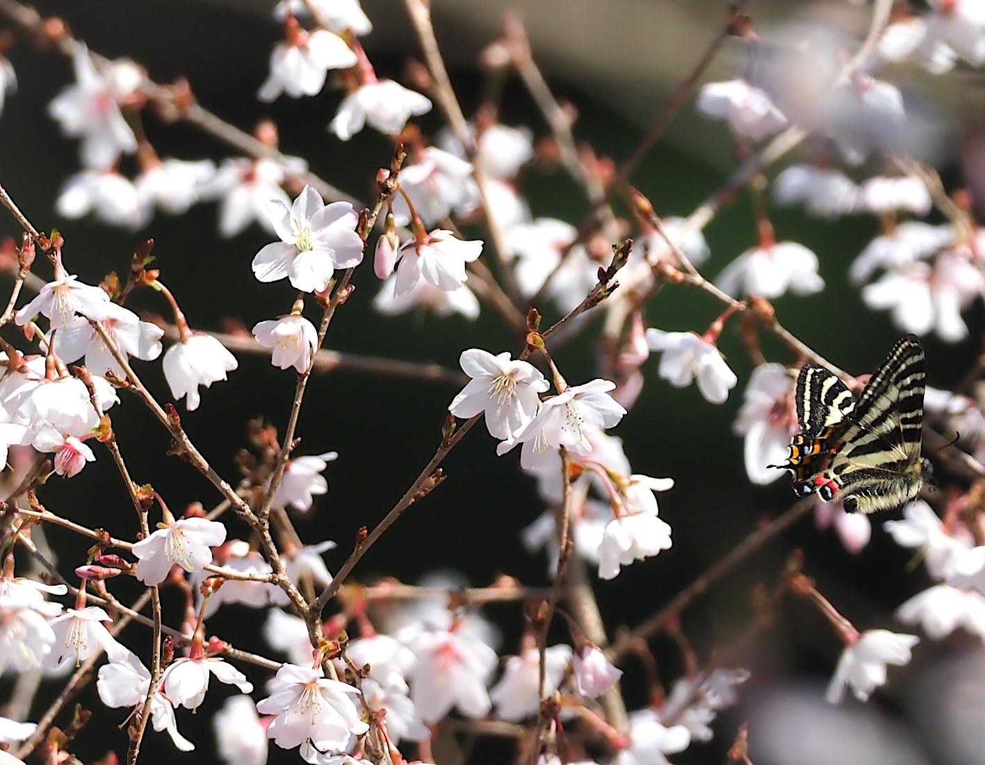 春の女神ギフチョウ、飛翔シーンの部(2020年4月2日)_d0303129_21363368.jpg
