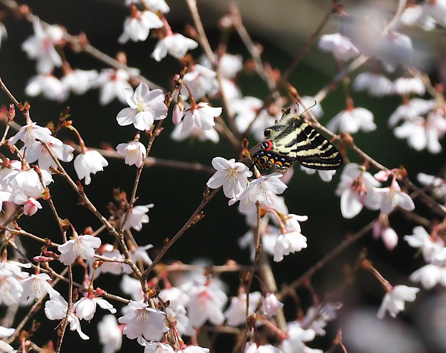 春の女神ギフチョウ、飛翔シーンの部(2020年4月2日)_d0303129_21363781.jpg