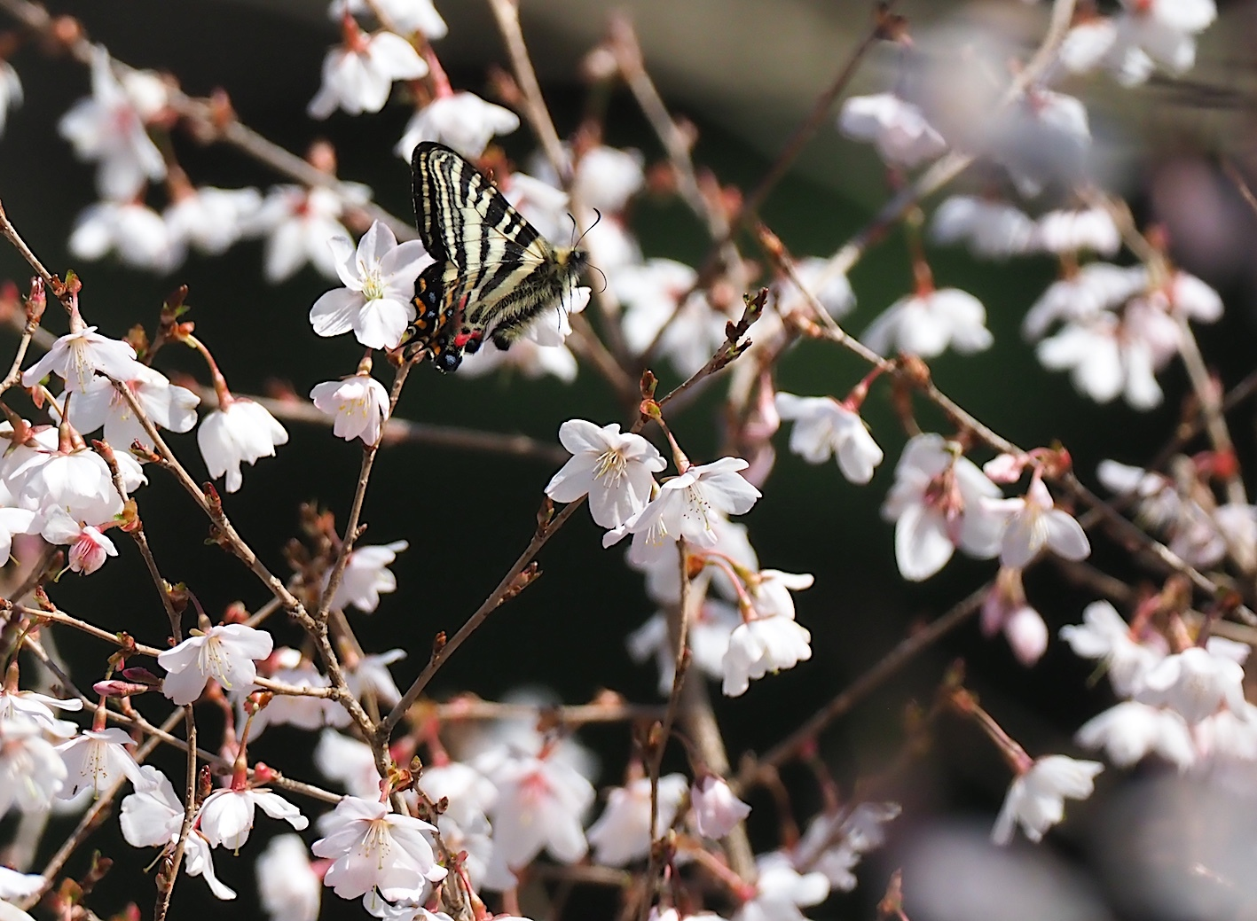 春の女神ギフチョウ、飛翔シーンの部(2020年4月2日)_d0303129_21364290.jpg