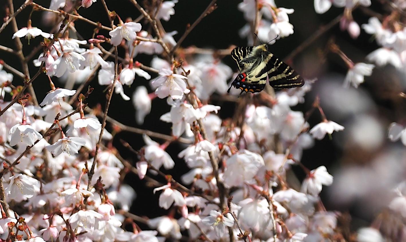 春の女神ギフチョウ、飛翔シーンの部(2020年4月2日)_d0303129_21364566.jpg