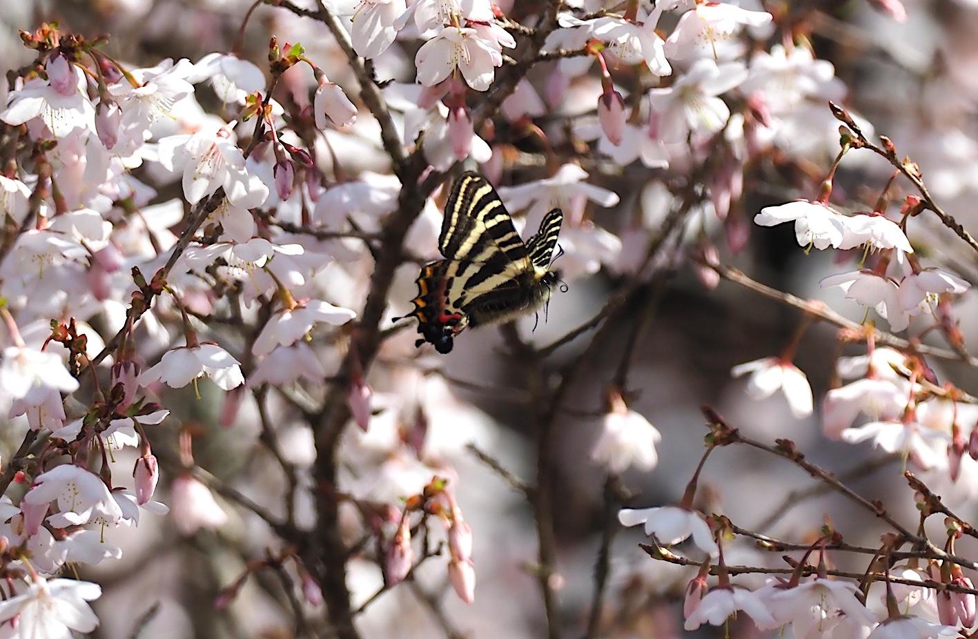 春の女神ギフチョウ、飛翔シーンの部(2020年4月2日)_d0303129_21364877.jpg