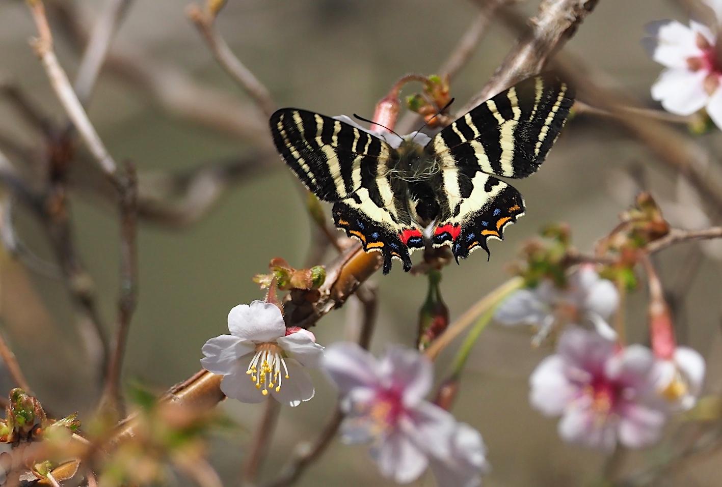 春の女神ギフチョウ、飛翔シーンの部(2020年4月2日)_d0303129_21365203.jpg